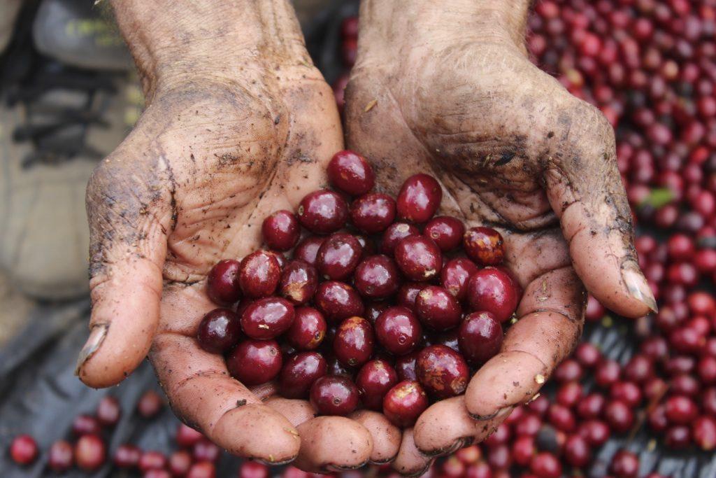 Pacamara Cherry Beans